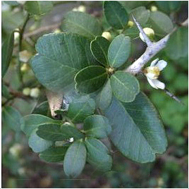 Severinia-buxifolia-list