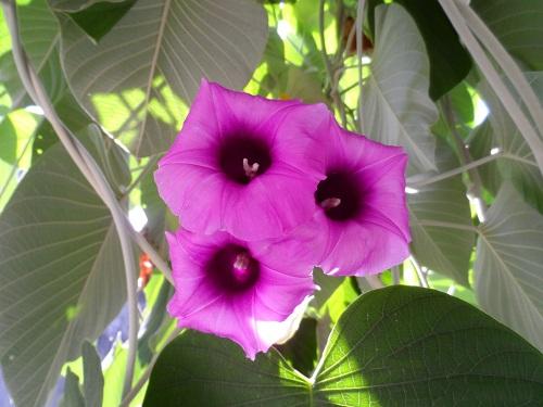 Argyreia NERVOSA или Гавайская Роза