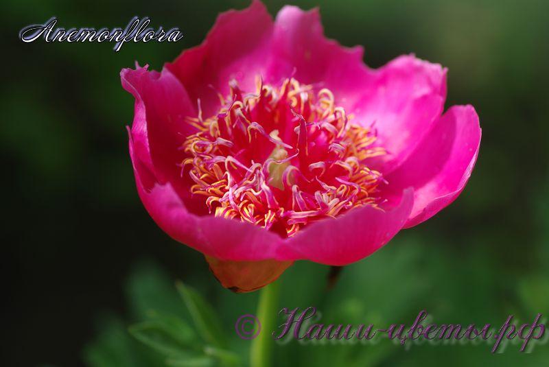 пион Anemonflora