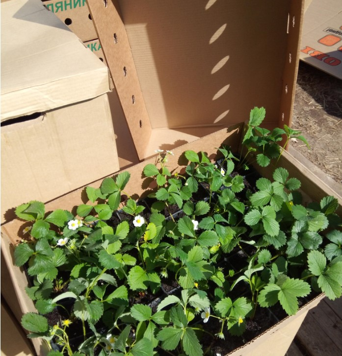 Упаковка клубники на доставку от gardenflorann.ru