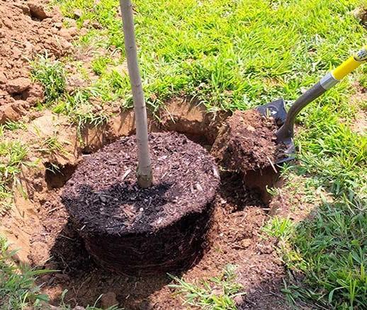Пересадка дерева с комом