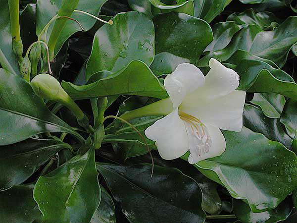 Fagraea BERTERIANA или Фагрея Ароматная