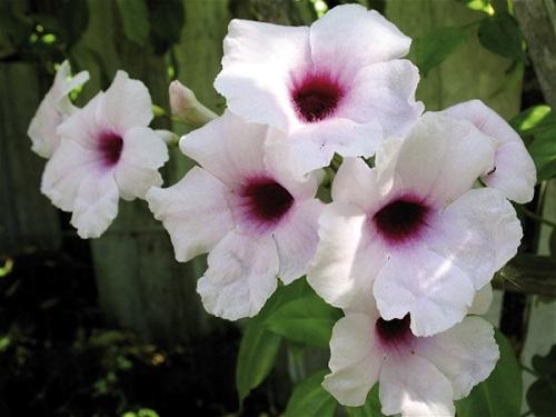Pandorea JASMINOIDES ROSEA или Пандорея Жасминовидная