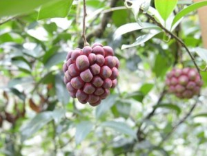 Кадсура ярко-красная, Кадзура, Кудзура (Kadsura coccinea)
