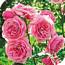 Западный цветочный трипс