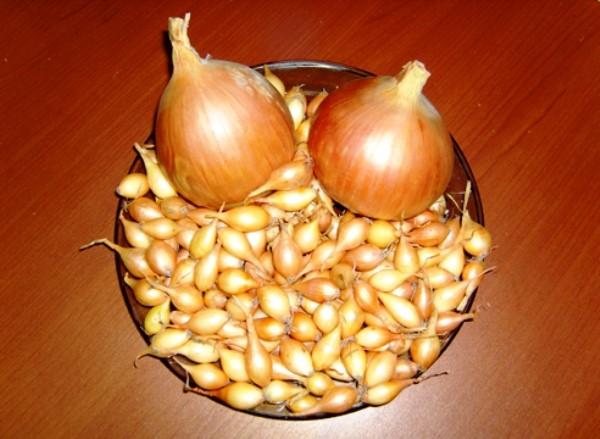 Севок и крупные луковицы сорта Геркулес