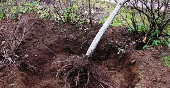 Пересадка дерева без кома