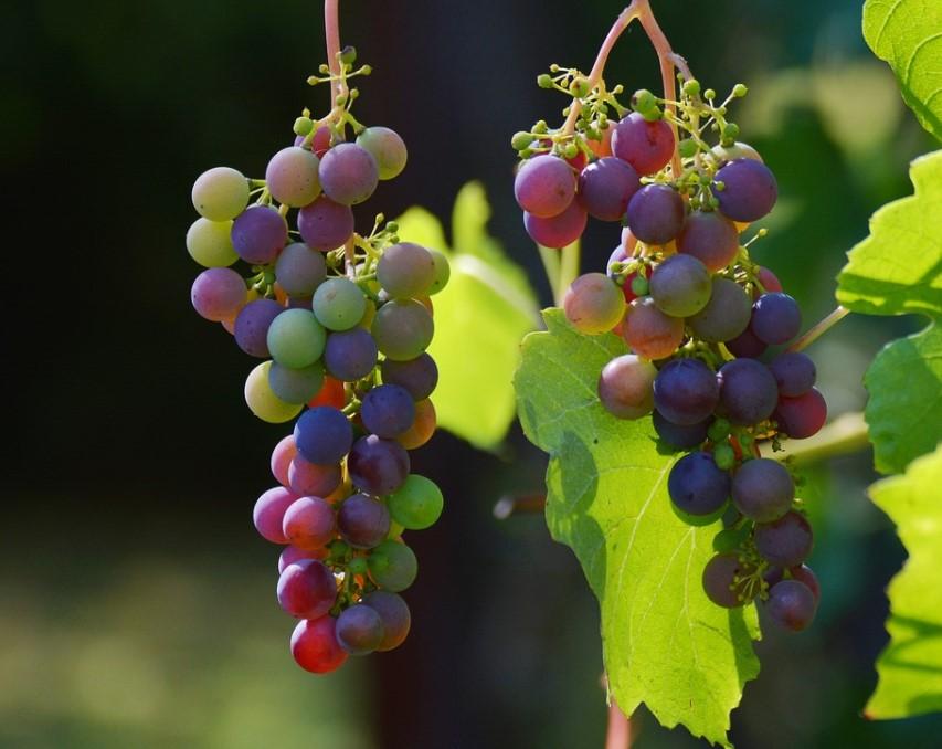 куст винограда фото Гарден флора
