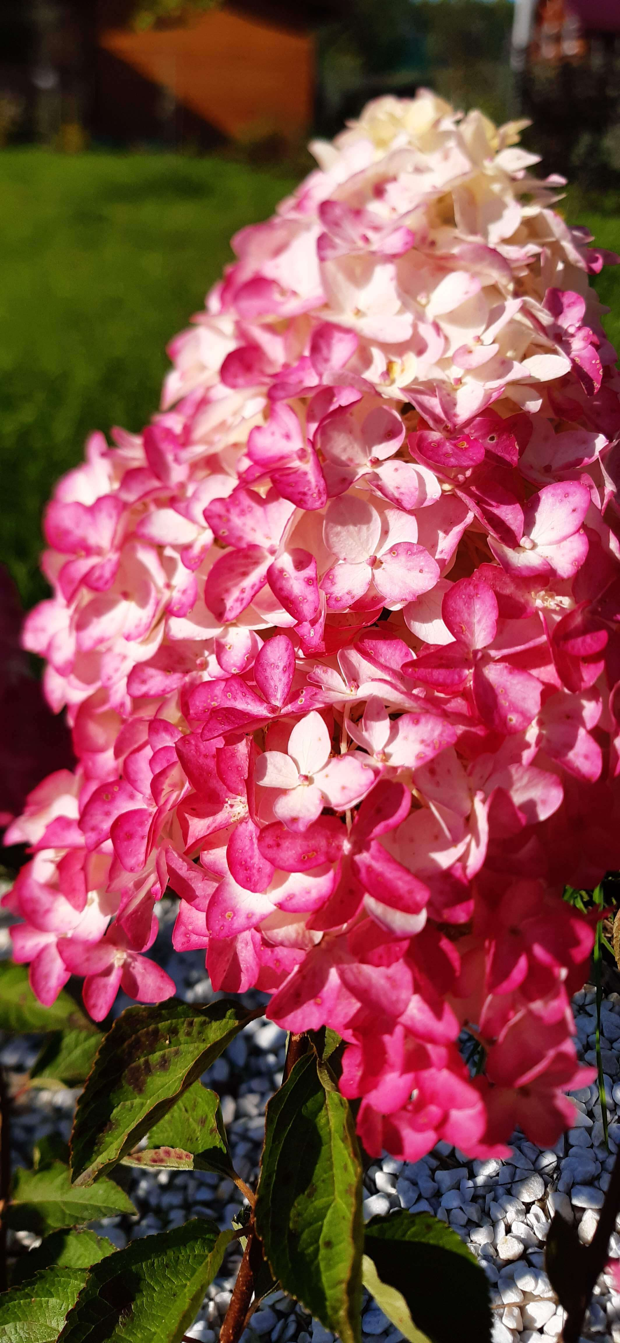 розовая гортензия фото гарден флора, нижний Новгород