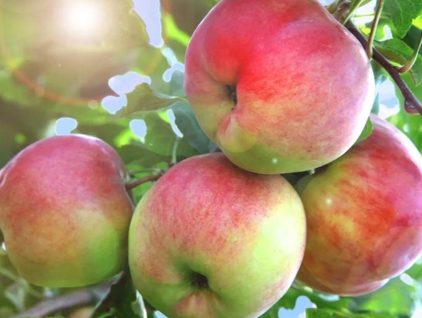 фото яблоня Аксёна