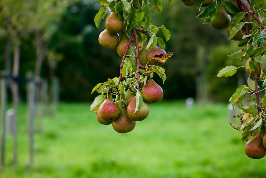 фото дерево груши