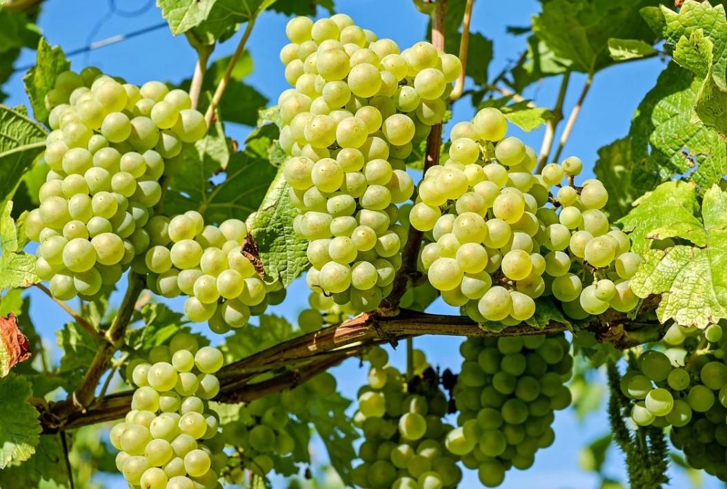 виноград фото от гарден флора