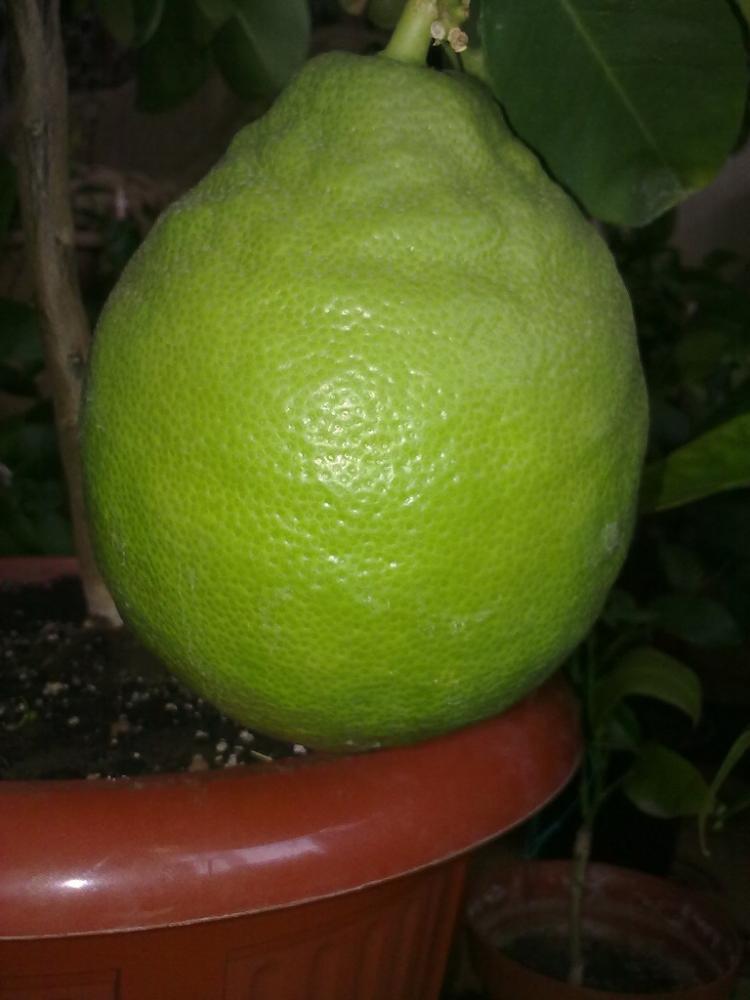 Limon Lipo