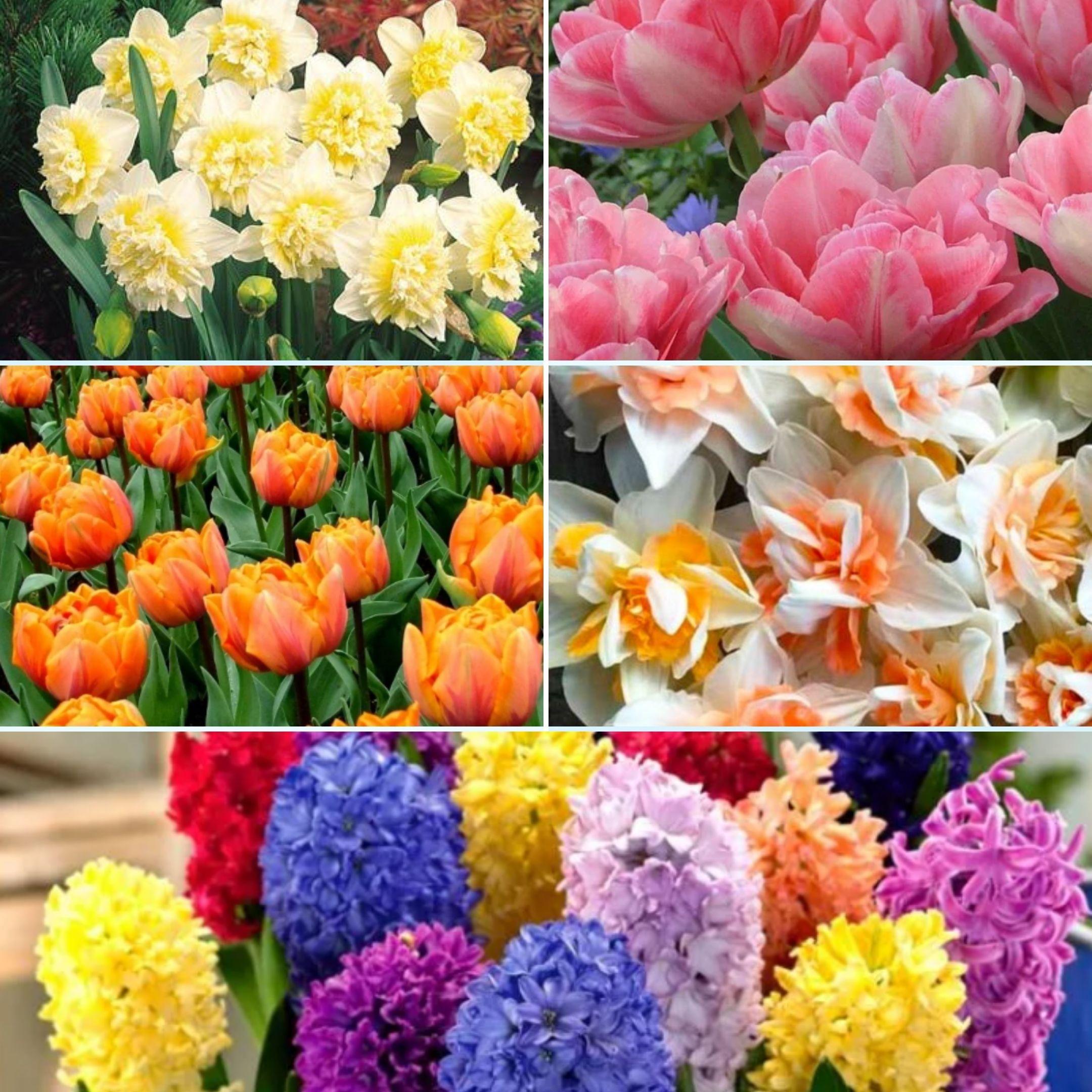 купить луковичные цветов