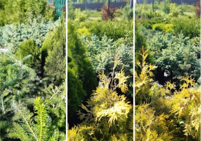 фото хвойных растений