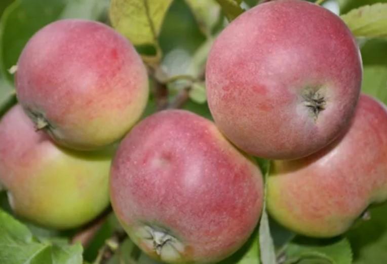 фото яблоня легенда