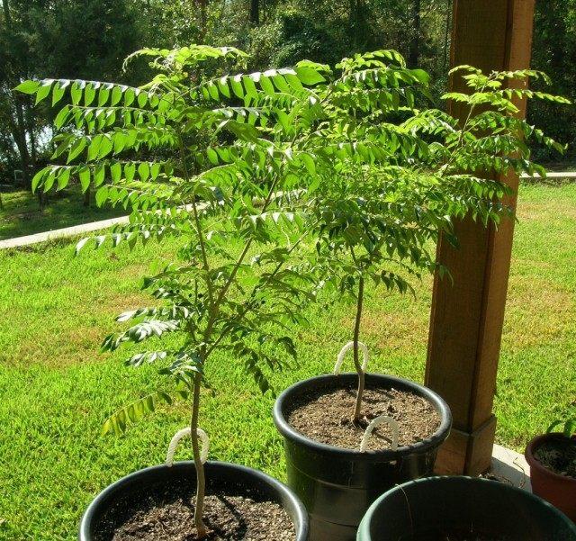 Муррайя Кёнига, или дерево карри (Murraya koenigii)