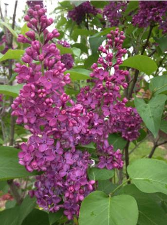 Сирень фото gardenflorann.ru