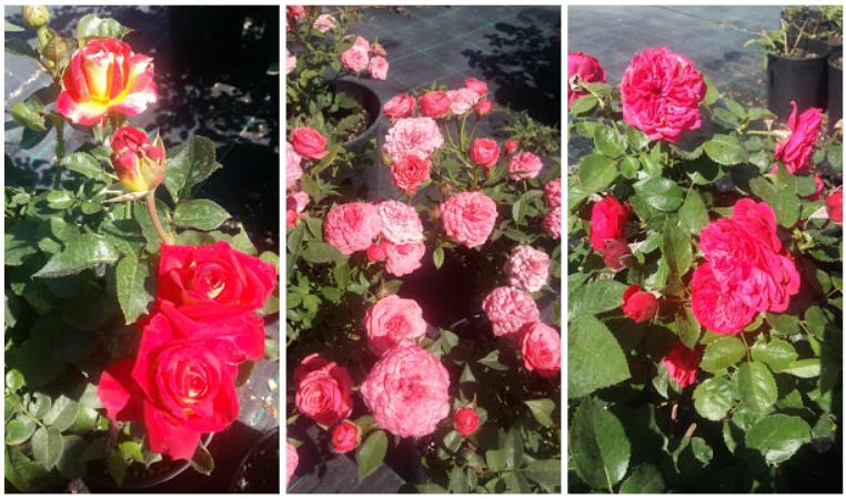розы уход и посадка
